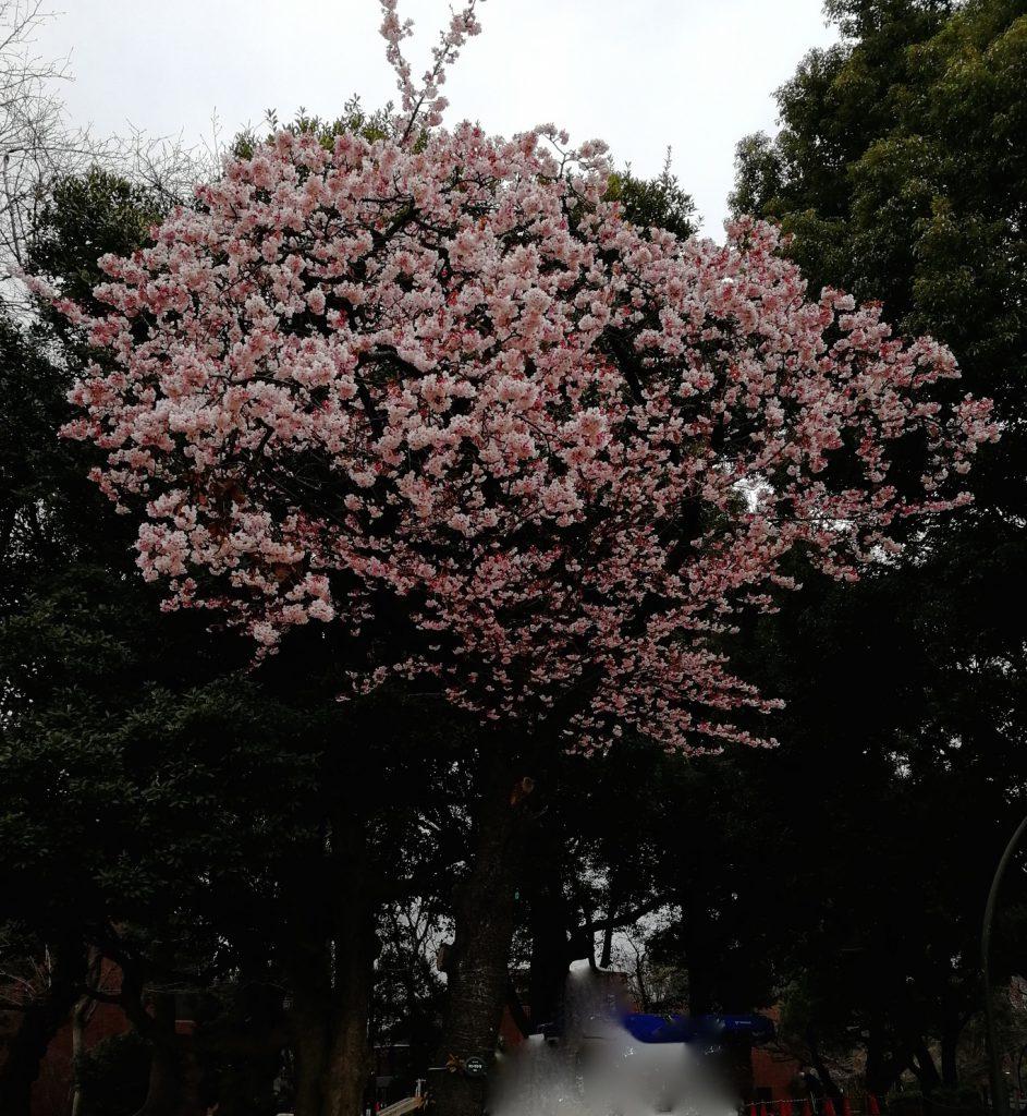 上野公園に寒桜が咲いていました
