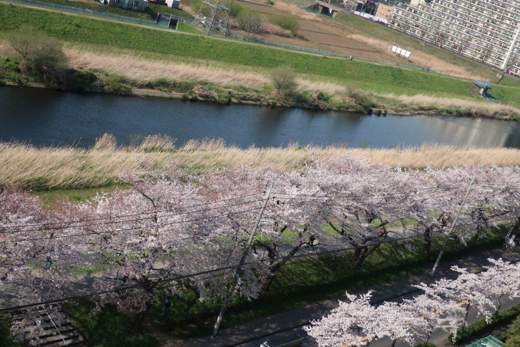 今年の桜を惜しんで